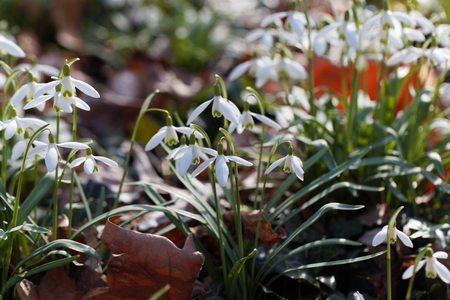 Flowers of wild common snowdrops (Galanthus nivalis) in a forest.
