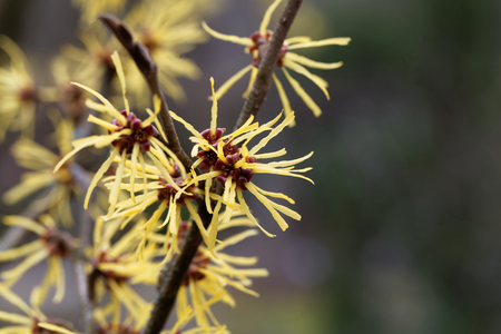 hazel branches: Flower of a Chinese witch hazel (Hamamelis mollis) Stock Photo