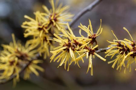 Flower of a Chinese witch hazel (Hamamelis mollis) Stock Photo