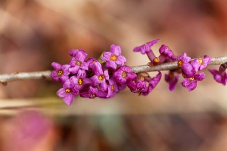 Flowers of a February daphne (Daphne mezereum)