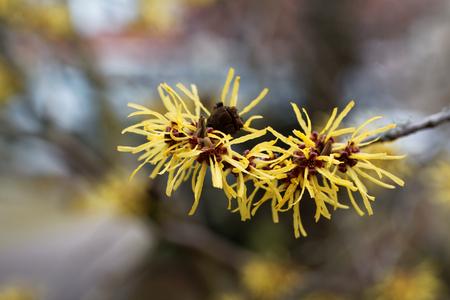 mollis: Flower of a Chinese witch hazel (Hamamelis mollis) Stock Photo