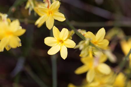 Een bloem van winterjasmijn (Jasminum nudiflorum)