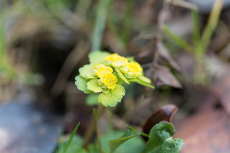 Macro photo of an alternate-leaved golden-saxifrage (Chrysosplenium alternifolium) Stock Photo
