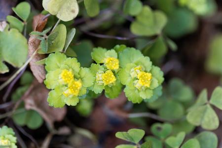 Macro photo of an alternate-leaved golden-saxifrage (Chrysosplenium alternifolium) Stock Photo