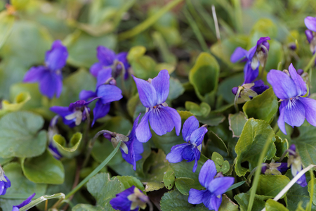 Flowers of an early dog violet (Viola reichenbachiana) Stock Photo