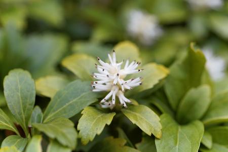 maleza: Flowers of Japanese pachysandra (Pachysandra terminalis) bush.