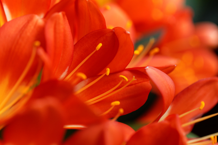 Details of a Natal lily flower (Clivia miniata) Stock Photo