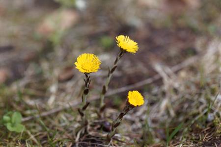 Macro photo of a Coltsfoot flower (Tussilago farfara)