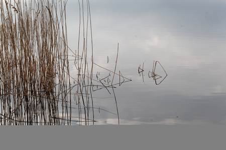 Old reed grass with reflections in water.
