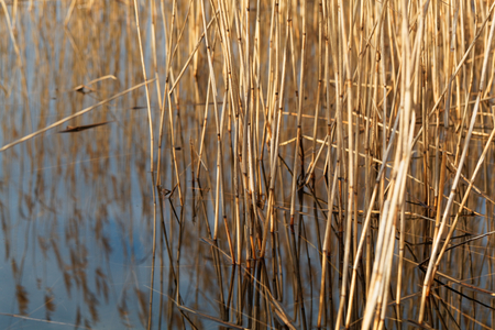 cane creek: Old reed grass with reflections in water.