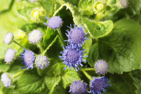 Flowers of a Blue Weed (Ageratum houstonianum) from Mexico.