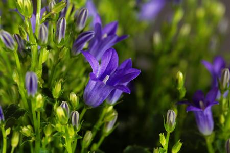 multiple: Flowers of a dalmatian bellflower (Campanula portenschlagiana)