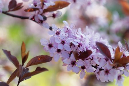 Flowers of a red cherry plum (Prunus cerasifera)