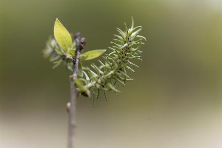 dioecious: Macro photo of grey willow buds (Salix cinerea)
