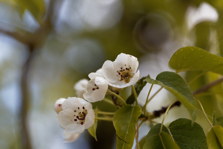 Flowers of a European wild pear (Pyrus pyraster)