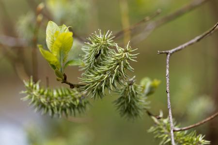 Flower of a bay willow tree (Salix pentandra) Stock Photo