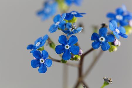 Macro photo of Siberian bugloss flowers (Brunnera macrophylla)