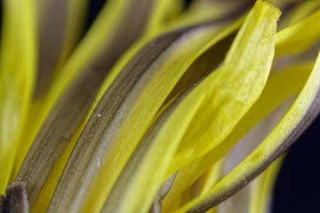 Detail of a dandelion flower (Taraxacum officinale) under the microscope.