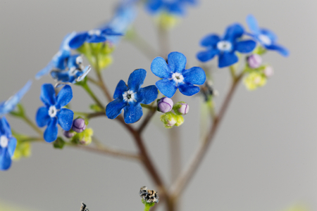 bunch of hearts: Macro photo of Siberian bugloss flowers (Brunnera macrophylla)