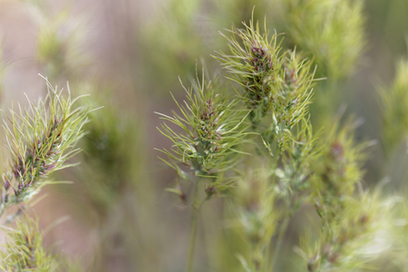 Head of bulbous bluegrass (Poa bulbosa) with spikelets with that contain bulbils.