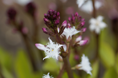 Macro photo of bogbean (Menyanthes trifoliata), a medical plant in Europe.