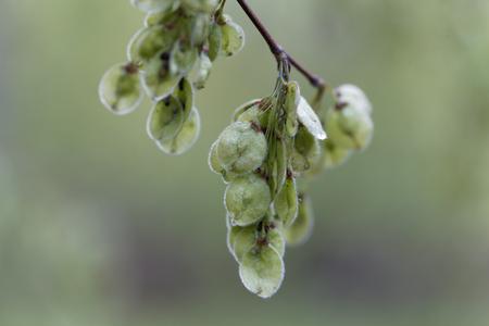 Immature fruits of a European white elm (Ulmus laevis)