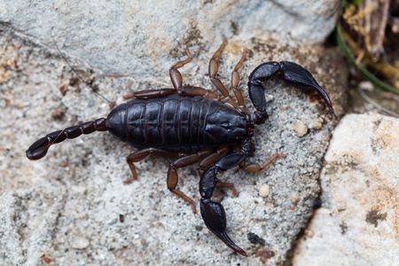 A black Euscorpius italicus scorpion, a common scorpion in the Mediterranean region.