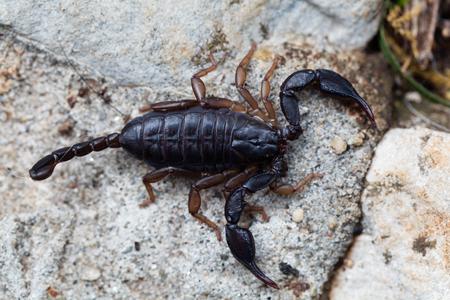 Un escorpión Euscorpius italicus negro, un escorpión común en la región mediterránea.