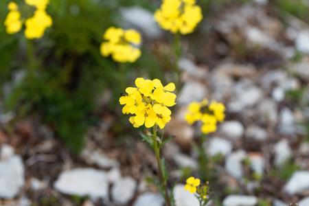 Makro photo of a smelly wallflower (Erysimum odoratum)