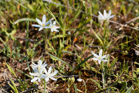 Flowers of the Star of Bethlehem flower Ornithogalum comosum, from the Mediterranean region.