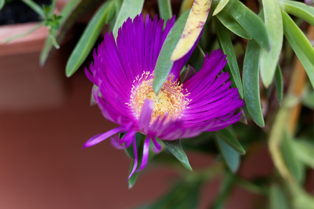 Flower of a pink iceplant (Carpobrotus edulis)