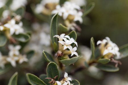 Flowers of an Alpine Daphne bush (Daphne alpina)
