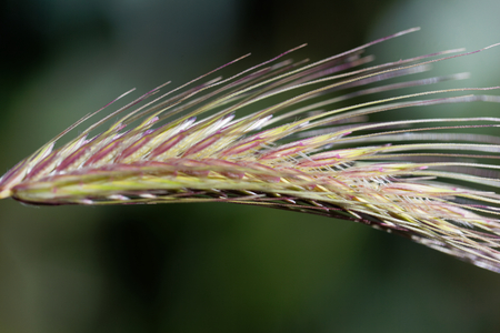 domestication: Spikes of the annual grass Dasypyrum villosum, a wild form of crop and a possible alternative form of food.