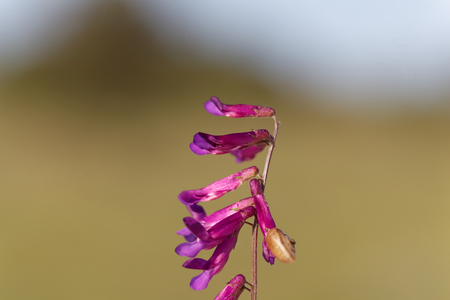 Flowers of a purple vetch (Vicia benghalensis), a Mediterranean plant. Stock Photo