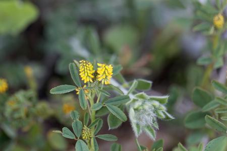sour clover: Macro photo of a Sweet clover (Melilotus indicus)