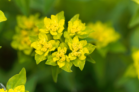 falcata: Macro of the spurge flower Euphorbia falcata