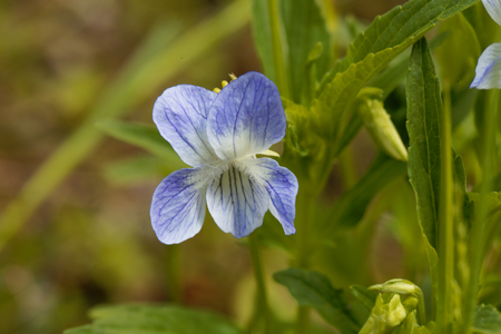 Flower of the tall violet (Viola elatior) Stock Photo