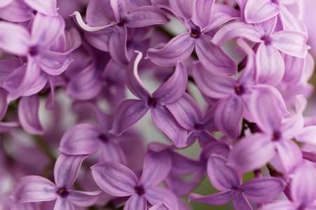 regional: Macro photo of common lilac flowers (Syringa vulgaris) Stock Photo
