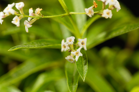 Flowers of lemon verbena (Aloysia citrodora), an herb and garden plant from South America.