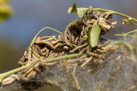 Gąsienice mewy (Yponomeuta) na komunalnej larwach. Zdjęcie Seryjne