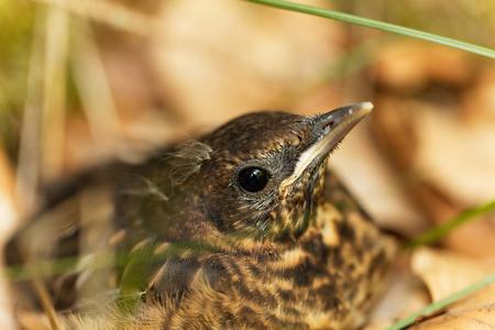 bird song: A young Blackbird (Turdus merula) after leaving the nest. Stock Photo