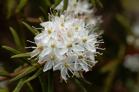 Flowers of marsh Labrador tea (Rhododendron tomentosum) The plant was used as medical herb and for brewing beer. Stock Photo