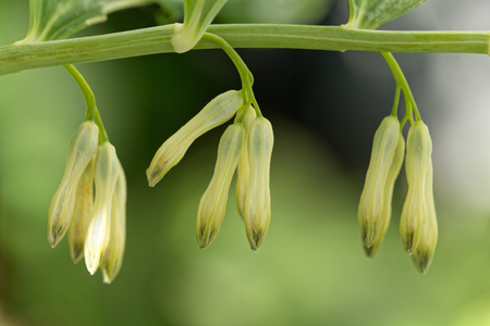 Flowers of a Solomon seal (Polygonatum odoratum)