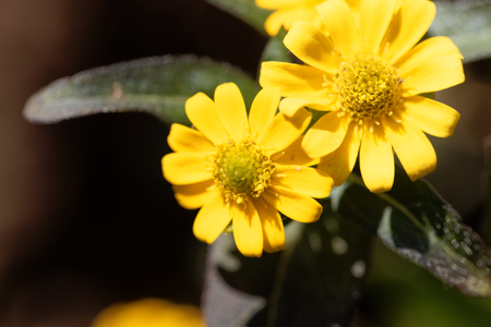 creeping plant: Flower of a Mexican creeping zinnia (Sanvitalia procubens) Stock Photo