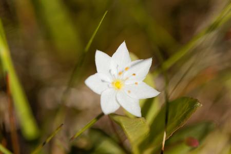 Macro photo of an Arctic Starflower (Trientalis europaea). Stock Photo