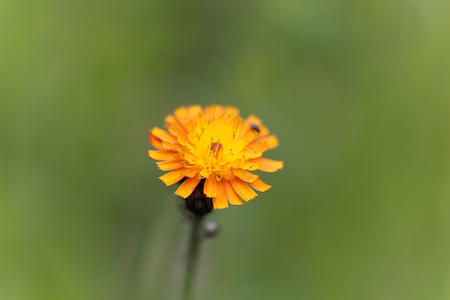 hawkweed: Flower of an orange hawkweed (Pilosella aurantiaca) Stock Photo