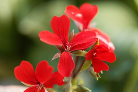 plants species: Fiore dell'ibrido di geranio di Pelargonium peltatum. Archivio Fotografico
