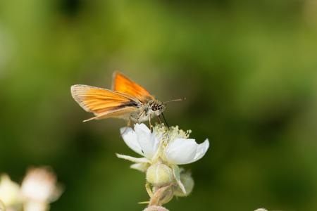A large skipper butterfly (Ochlodes sylvanus) on a flower.