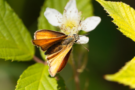 sylvanus: A large skipper butterfly (Ochlodes sylvanus) on a flower.