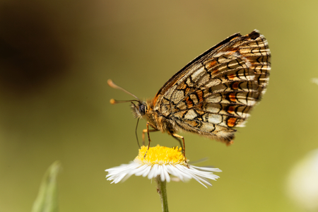 background: Macro photo of a heath fritillary (Melitaea athalia) butterfly.